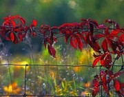Red Leaves on a Fence