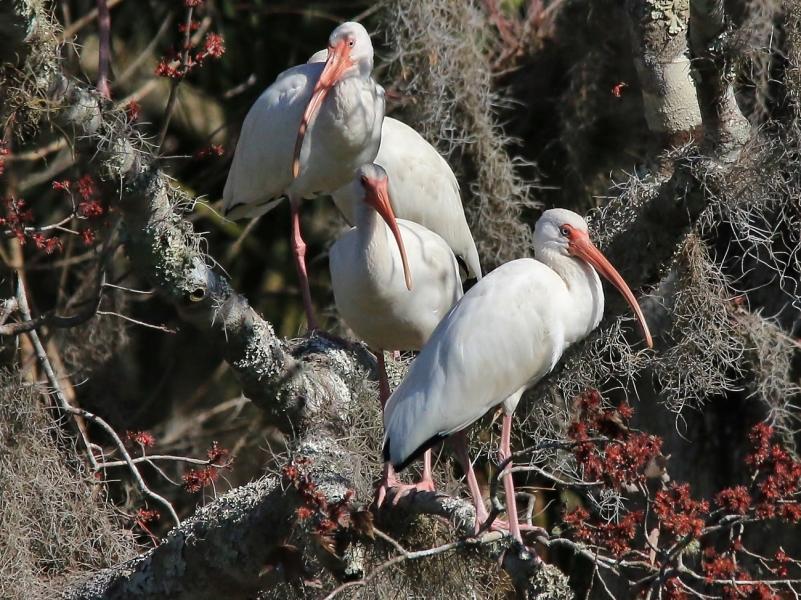 White Ibis in Spanish Moss