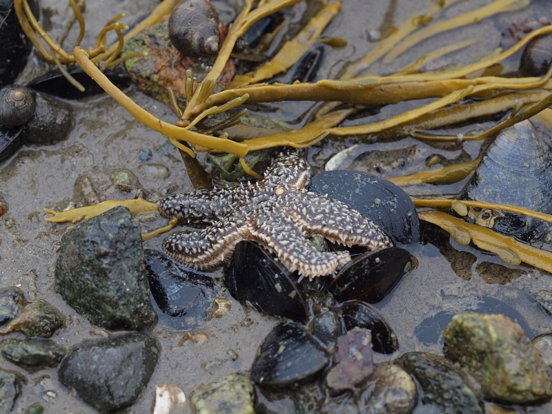 Forbes Seastar on Blue Mussels