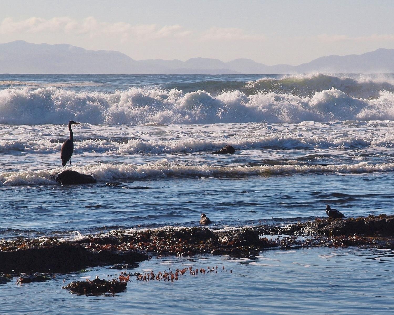 16072 Great Blue Heron in Surf