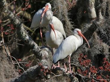 16024 White Ibis in Spanish Moss