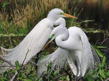 16027 Great Egrets