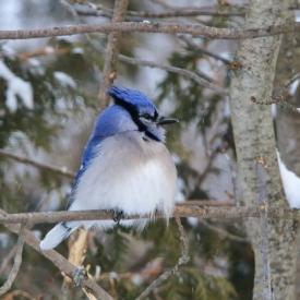 16032 Blue Jay in Winter
