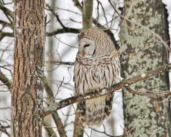 16086 Barred Owl in Winter