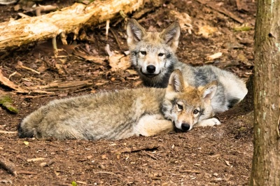 Craig - Timber Wolf Pups - Photography, 16x24