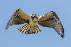 Craig - Osprey in Flight - Photography