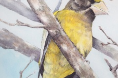 Luce - Evening Grosbeak - Watercolour Pen Ink